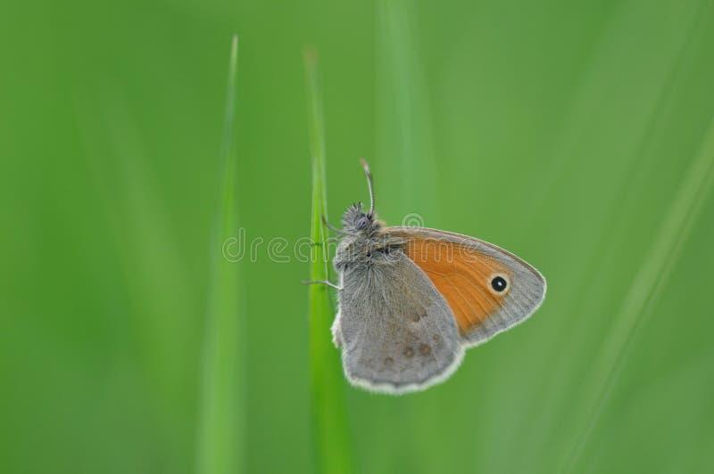 Petite bruyère de papillon photos libres de droits