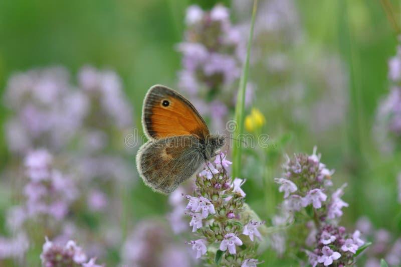 Petite bruyère de papillon photographie stock