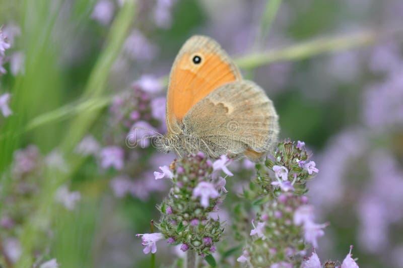 Petite bruyère de papillon photographie stock libre de droits