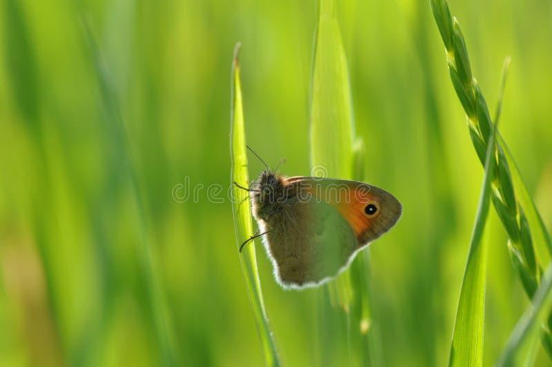 Petite bruyère de papillon images stock
