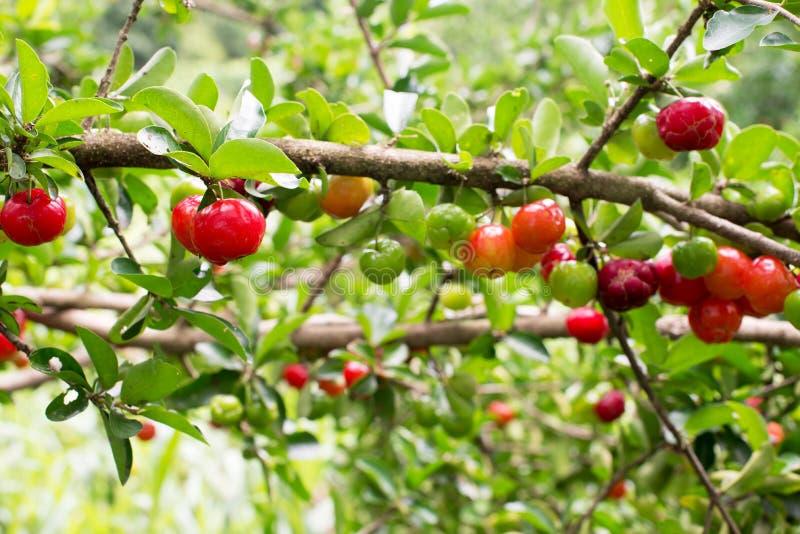 Petite cerise de fruit brésilien organique d'Acerola photos libres de droits