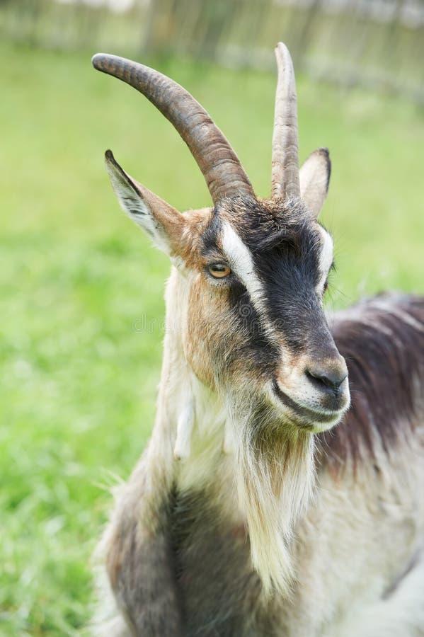 Petite chèvre avec le klaxon au pâturage vert images libres de droits