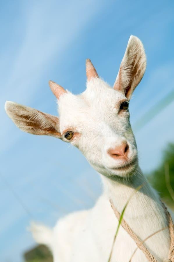 Petite chèvre blanche avec le klaxon images stock
