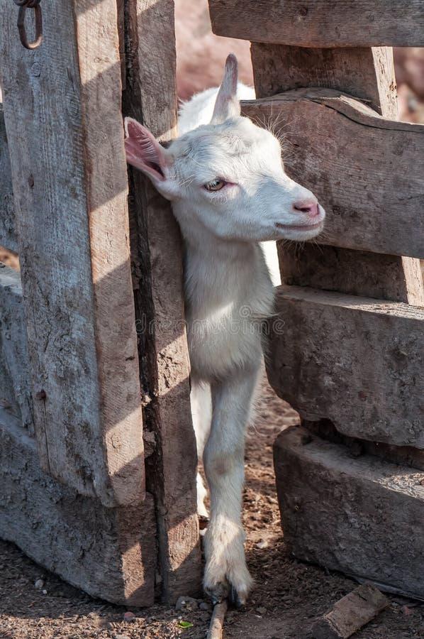 Petite chèvre blanche (goatling) photos stock