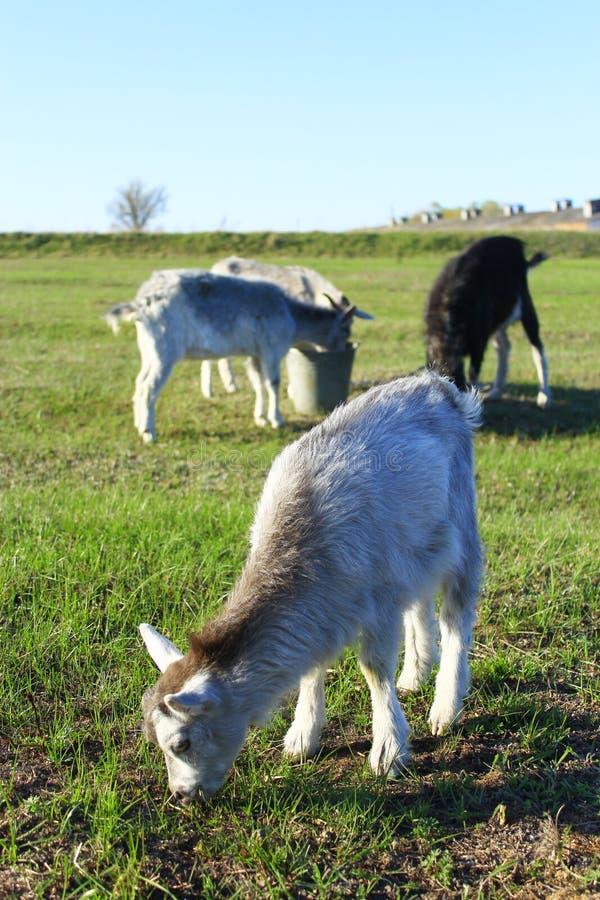 Petite chèvre sur le pâturage photo libre de droits