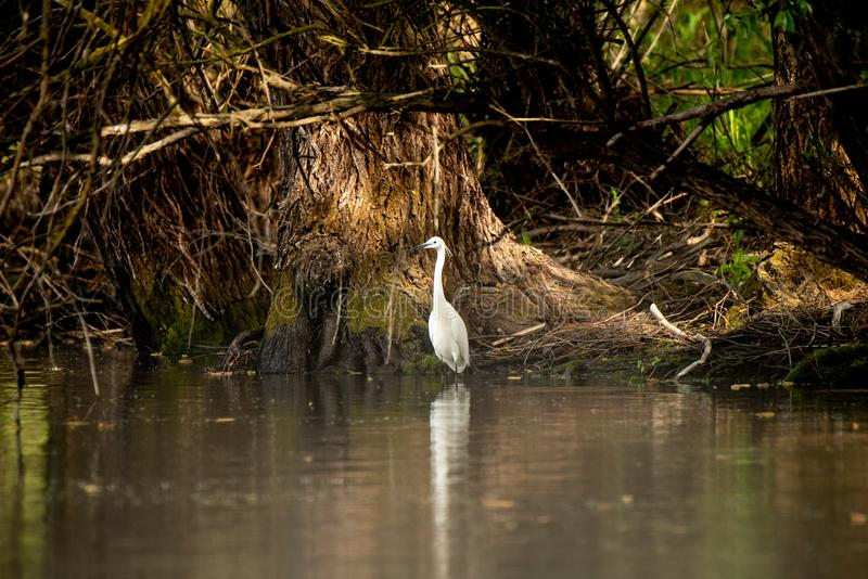 Petite chasse de héron dans le delta de Danube, observation d'oiseau de faune de la Roumanie images libres de droits