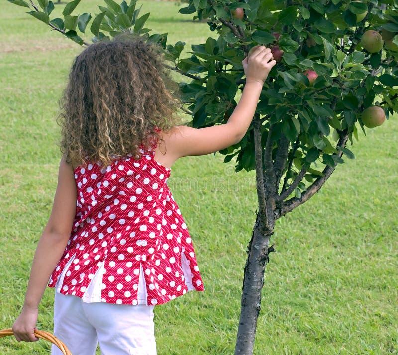 Petite fille atteignant jusqu'à la sélection un Apple photo libre de droits