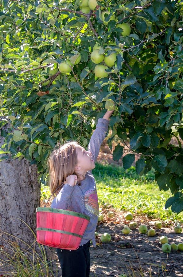 Petite fille atteignant pour les pommes d'or photographie stock