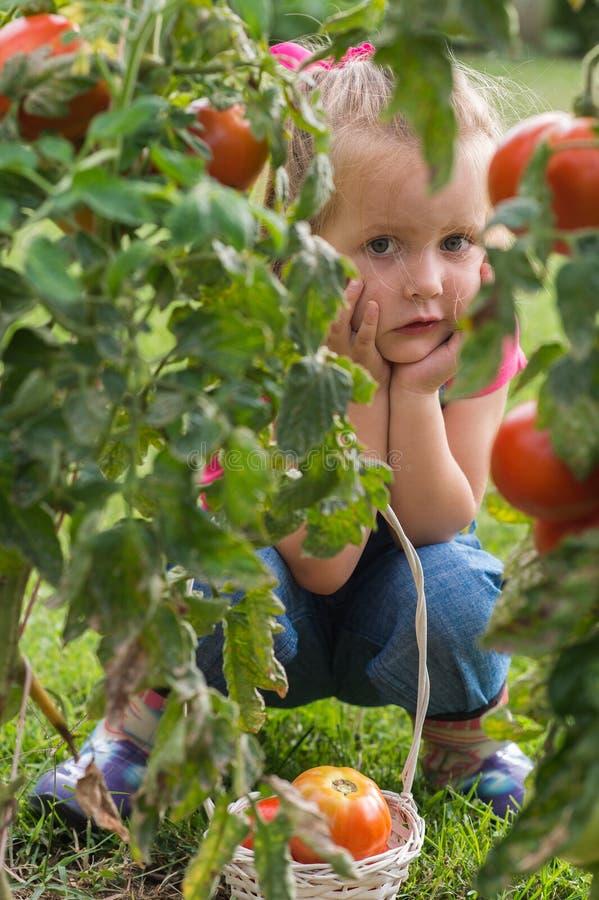 Petite fille rassemblant des tomates de culture dans le jardin photos stock