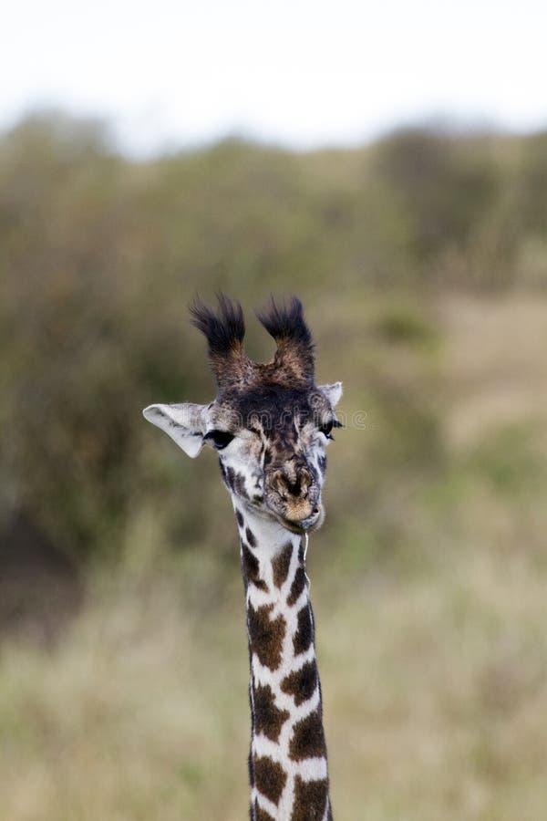 Petite fin de girafe  photographie stock