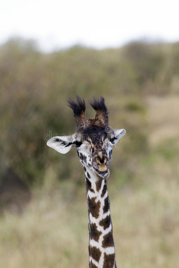 Petite fin de girafe  images stock