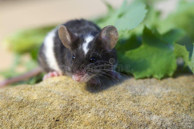 Petite fin douce de souris d'animal familier vers le haut images stock