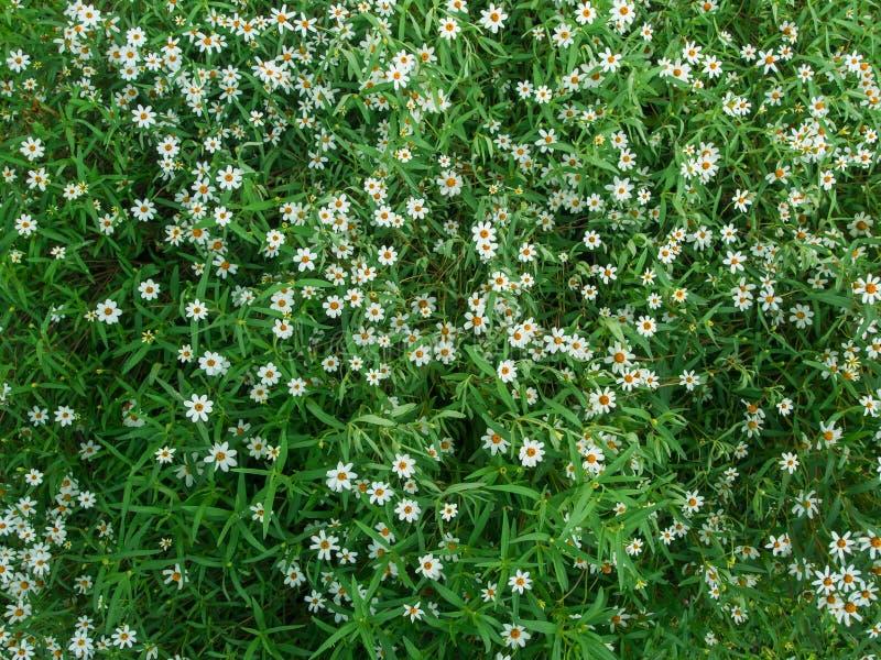 Petite fleur blanche d'herbe photographie stock