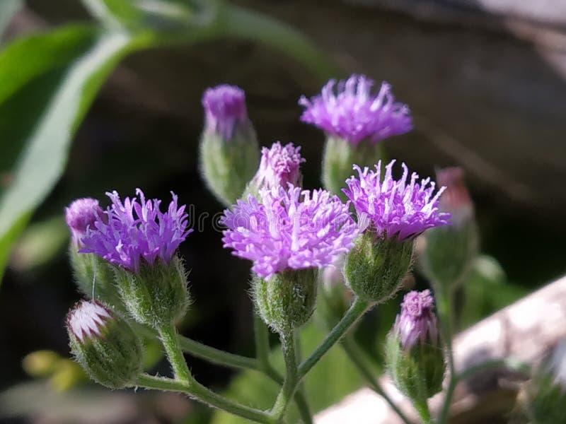 Petite fleur de floraison d'herbe de Saint-Jacques avec le fond stupéfiant photo libre de droits