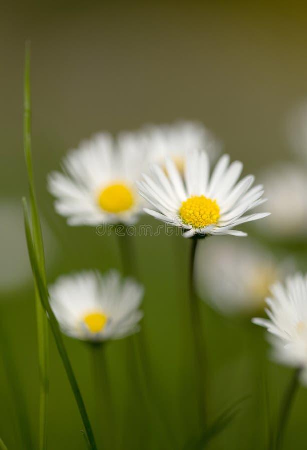 Petite fleur de marguerite image stock image du jardin - Image fleur marguerite ...