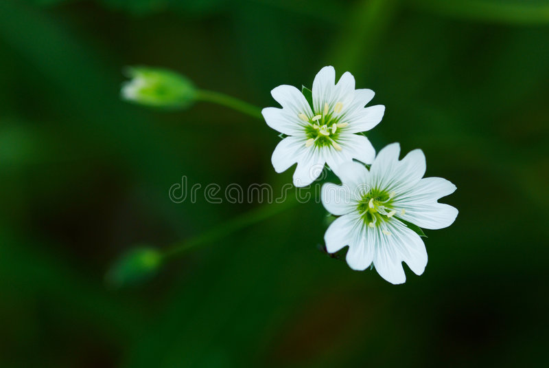 Petite fleur deux blanche sauvage image libre de droits