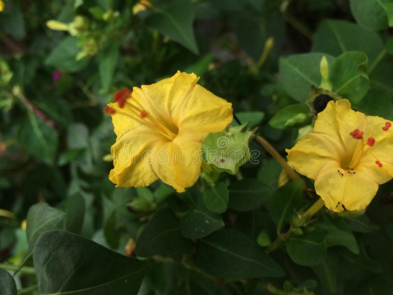 petite fleur jaune, beauté du Sri Lanka photographie stock libre de droits