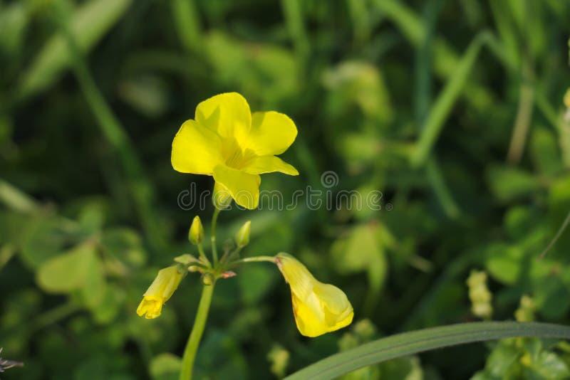 petite fleur jaune dans le jardin photo stock image du centrale jaune 85747996. Black Bedroom Furniture Sets. Home Design Ideas