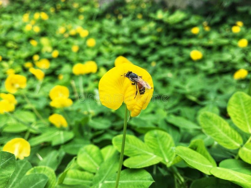 Petite fleur jaune de Pinto Peanut avec l'abeille sur le fond vert de feuilles photos libres de droits