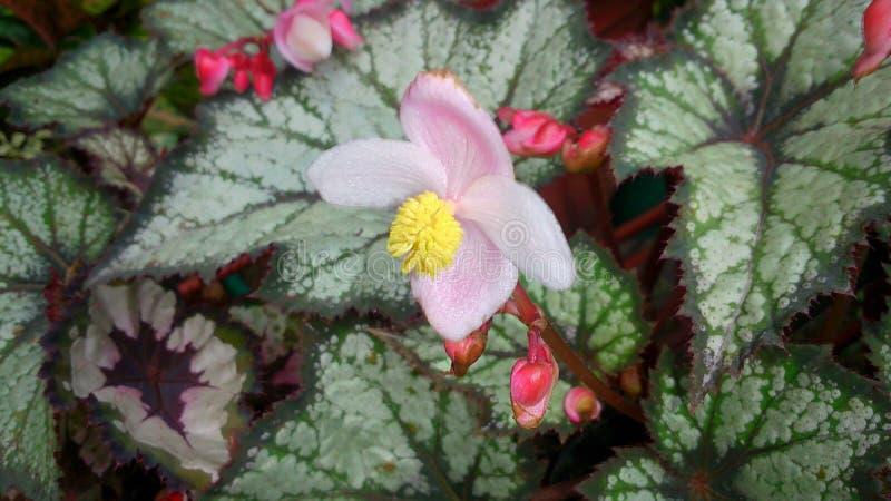 petite fleur rose sur les feuilles vertes photographie stock libre de droits