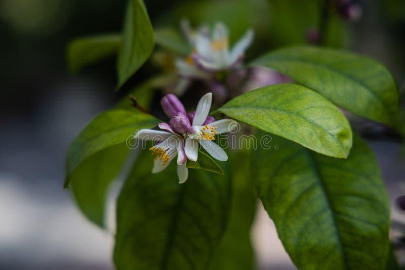 Petite fleur sensible blanche d'un citronnier parmi les feuilles vertes photos libres de droits