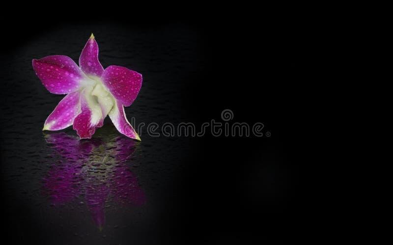 Petite fleur sensible d'orchidée rose sur un fond noir avec la réflexion lumineuse et claire photos libres de droits