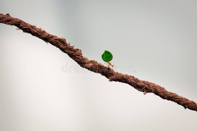 Petite fourmi portant la feuille verte photo libre de droits