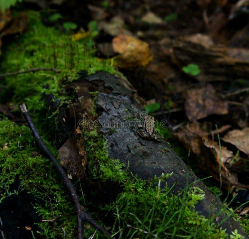 Petite grenouille de bébé photographie stock