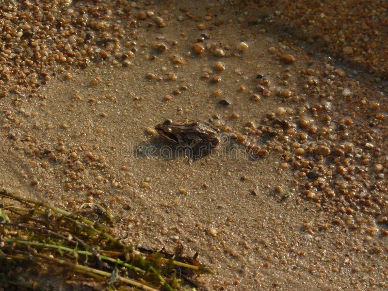 Petite grenouille la mer de lac photographie stock libre de droits