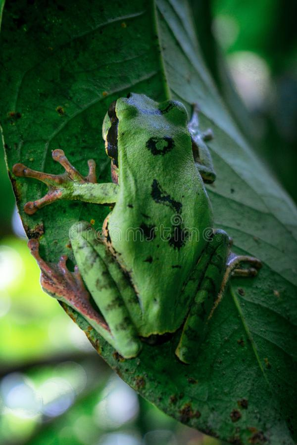 Petite grenouille verte photographie stock