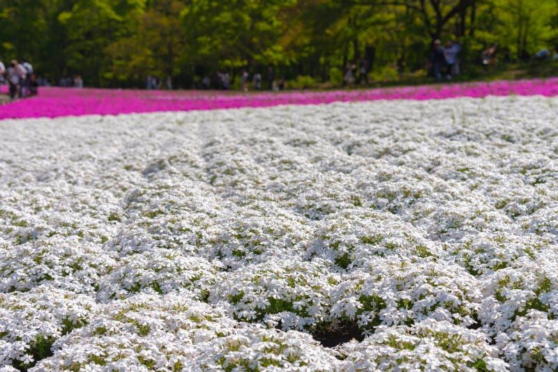 Petite mousse blanche rose sensible en gros plan Shibazakura, floraison de fleurs de subulata de phlox pleine au sol dans la jour images libres de droits