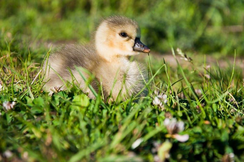 Petite oie dans l'herbe verte image stock