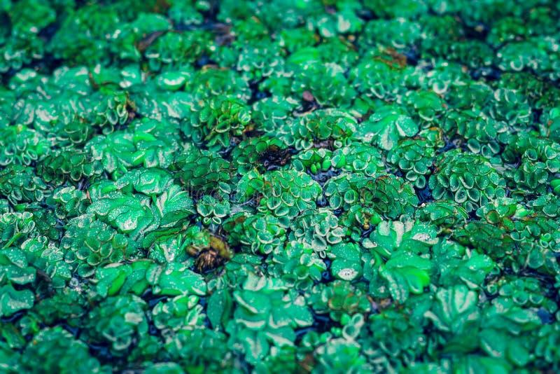 Petite plante aquatique dans l'aquarium, décoration avec le mini champ vert dans l'eau photo stock