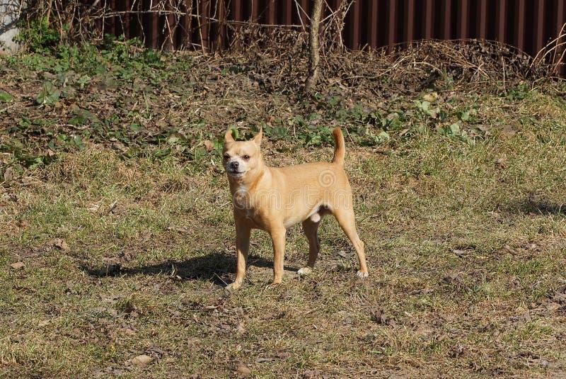 Petite position brune fâchée de chien dans l'extérieur d'herbe image libre de droits