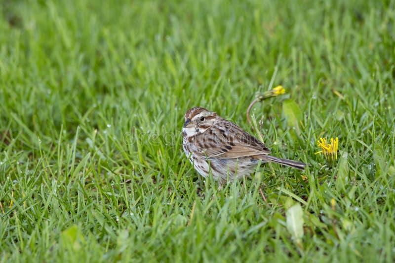 Petite position de moineau de chanson dans la pelouse couverte de ros?e ? c?t? du pissenlit au printemps photos stock