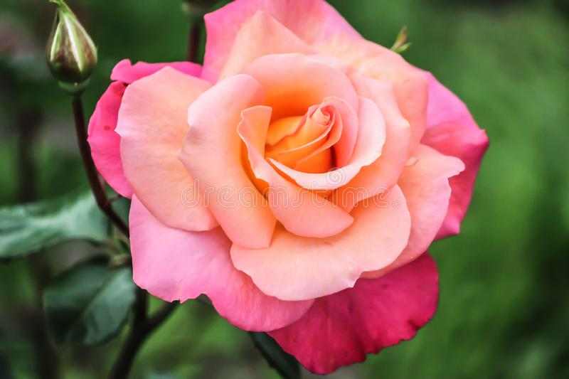 Petite Rose rose dans gardern photo libre de droits