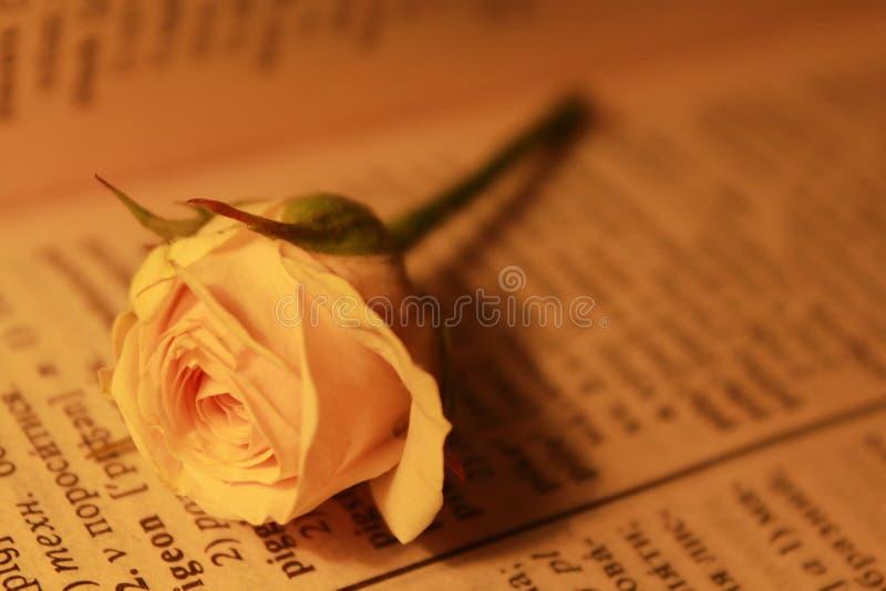 Petite rose de beige photo stock