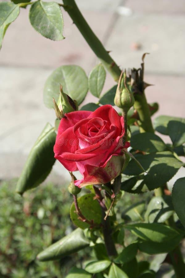 Petite Rose rouge photographie stock libre de droits
