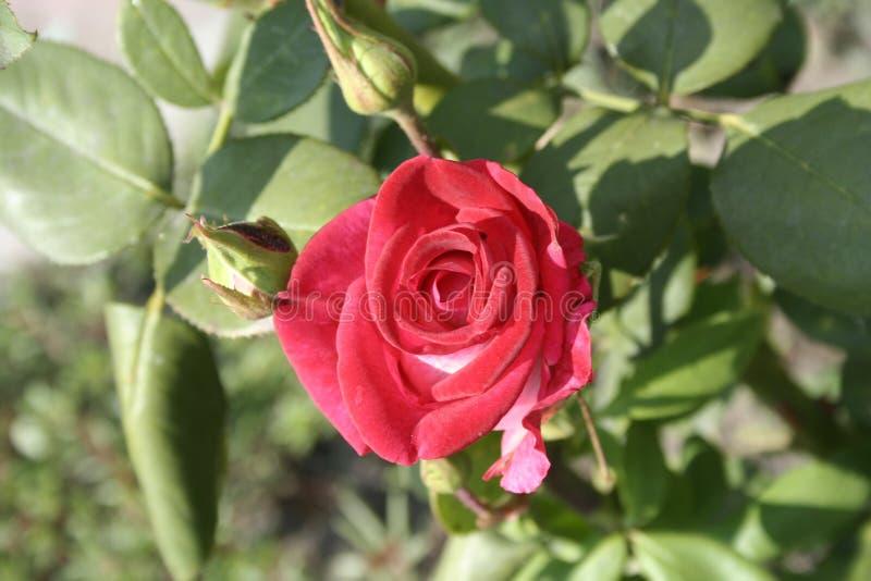 Petite Rose rouge photos libres de droits