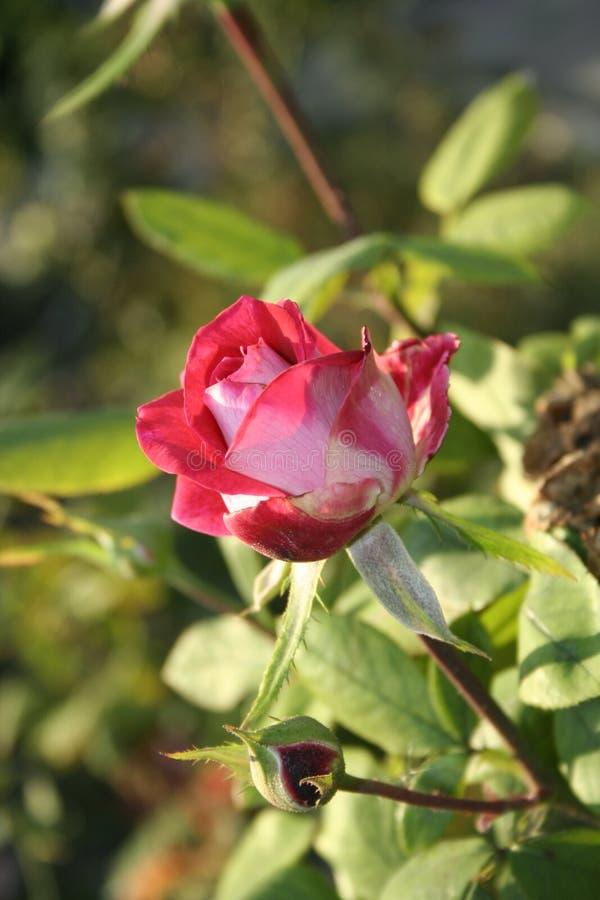 Petite Rose rouge photo libre de droits