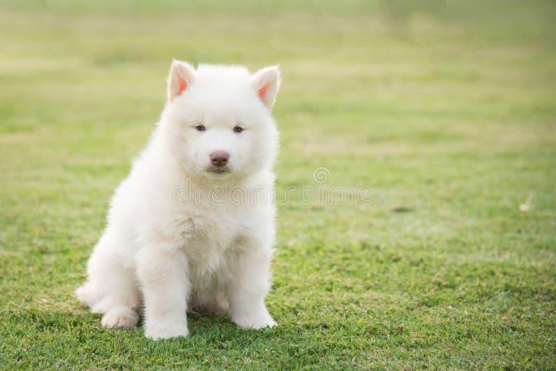 Petite séance mignonne de chiot de chien de traîneau sibérien images stock