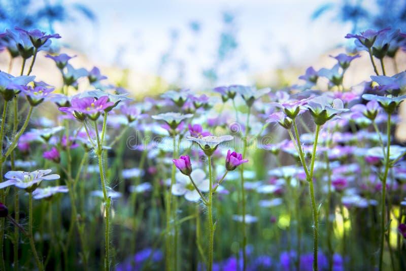 Petite saxifrage blanc-rose sur le fond doux de ciel bleu avec le foyer mou Belles fleurs sur le pré d'été le jour ensoleillé, fl photos stock