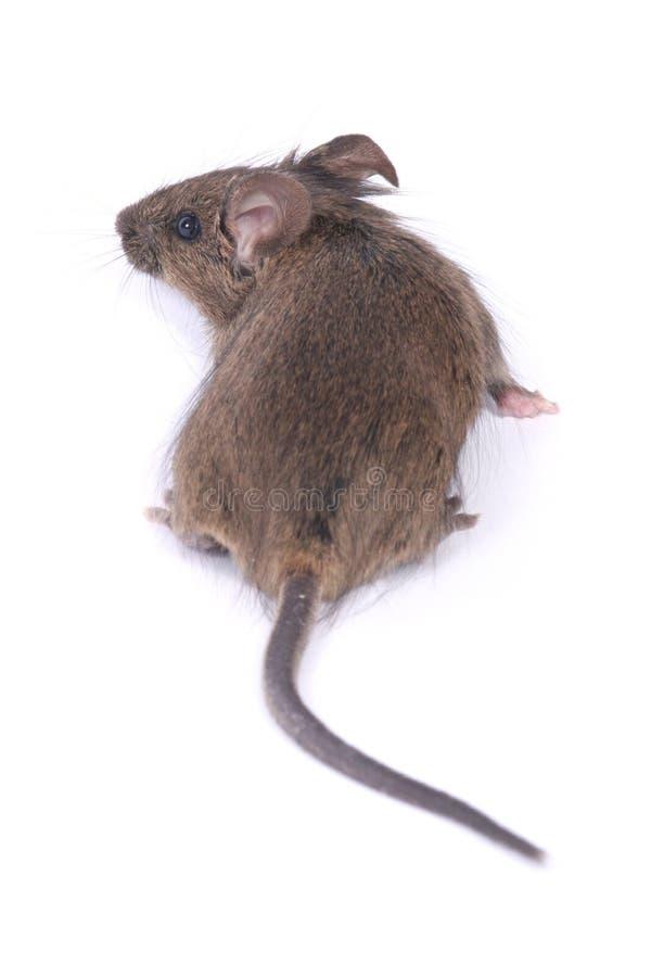 Petite souris sauvage image libre de droits