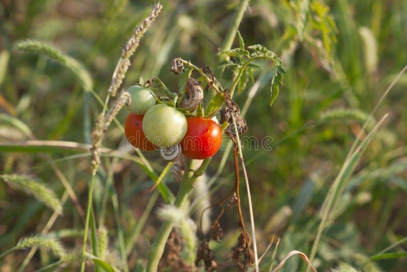 Petite tomate de Bush avec les tomates mûres et non mûres image libre de droits