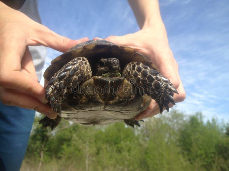 Petite tortue photos stock