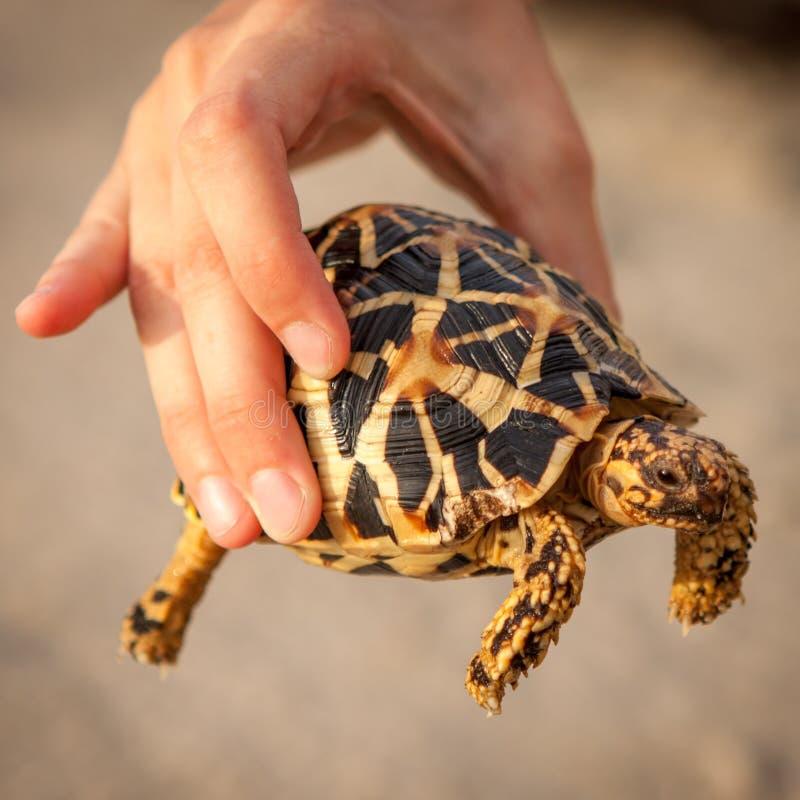 Petite tortue d'or se tenant à disposition photographie stock libre de droits