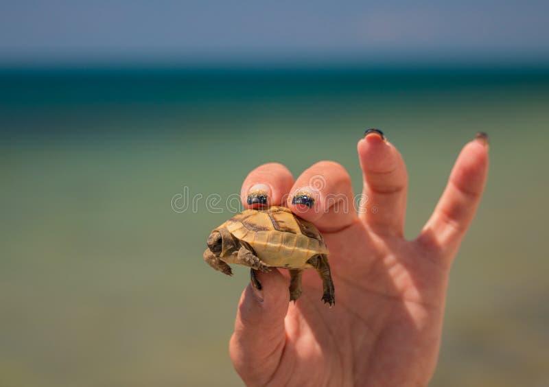 Petite tortue dans la main femelle image libre de droits