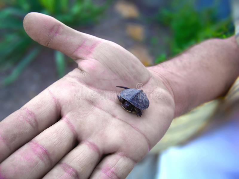 Petite tortue minuscule de bébé enregistrée Placé sur une main sur son chemin au sauvage image libre de droits