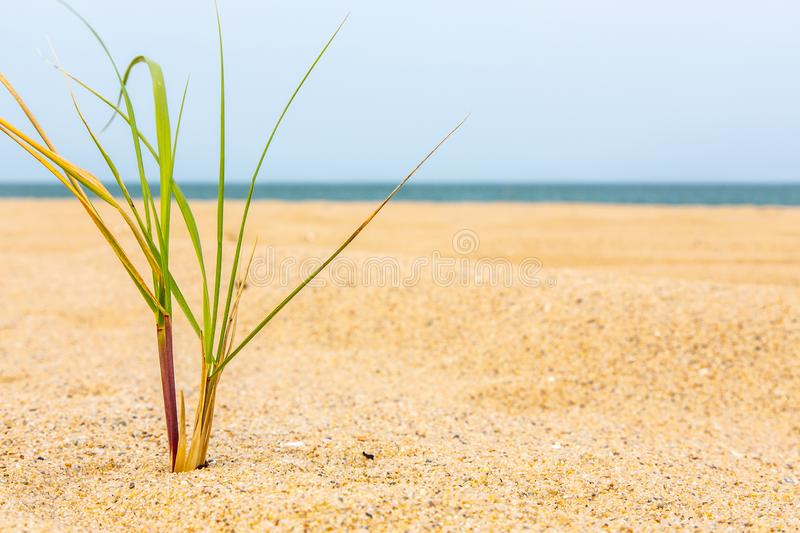 Petite touffe d'herbe dans le sable sur le Martha's Vineyard, le Massachusetts photos libres de droits