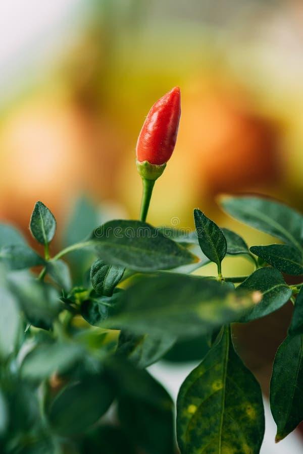 Petite usine organique de poivrons rouges s'élevant la saison de plantation de lit de jardin au printemps Pousse verte avec des f photo libre de droits